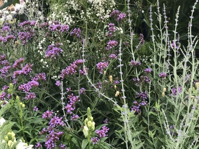 Verbena Bonariensis 'Lollipop' & Perovskia 'Little Spire'