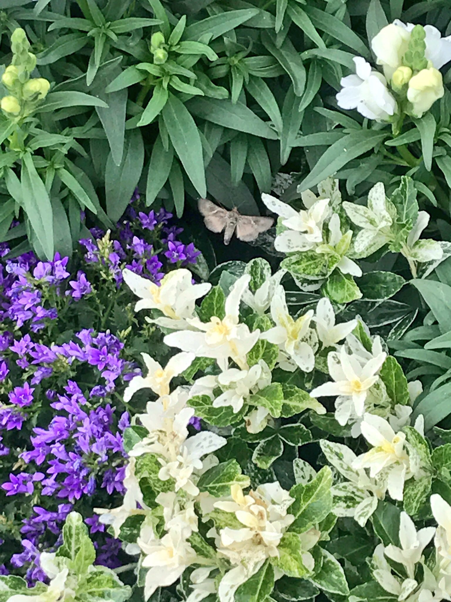 Antirrhinum, Campanula 'Intense Purple', Euonymus 'Harlequin' & moth!