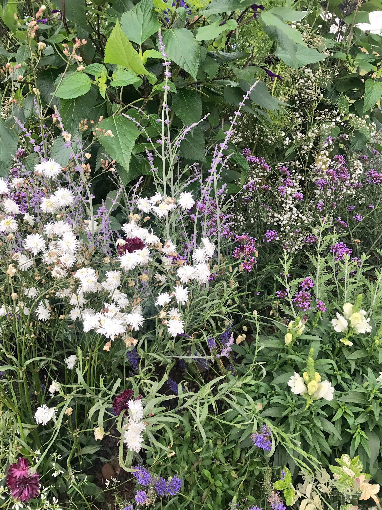 Lychnis 'Petit Henri' (fluffy white flowers)